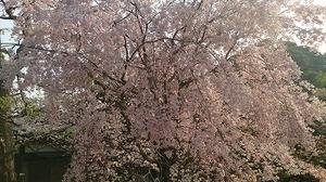 皇居さくら (5).jpg
